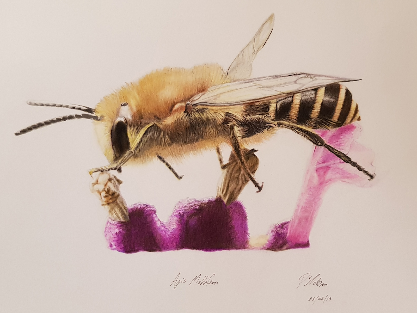 Honey-Bee-Lrg